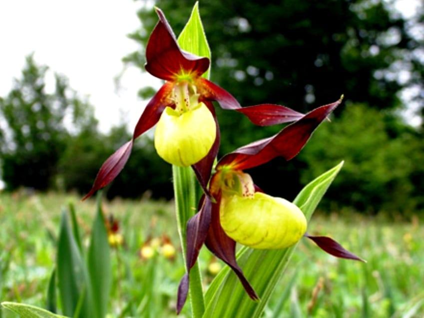 Flori rare din România