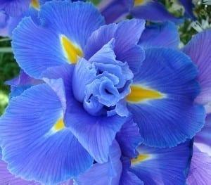Irisul