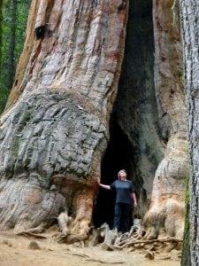 arborii Sequoia