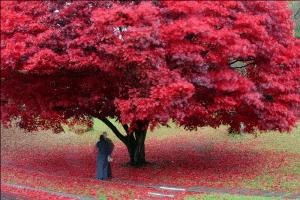 inima copac