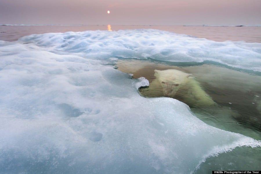 Polar Bear, Hudson Bay, Canada