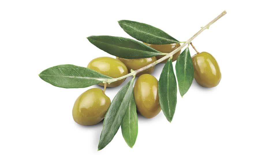 măslinul plantă din Biblie