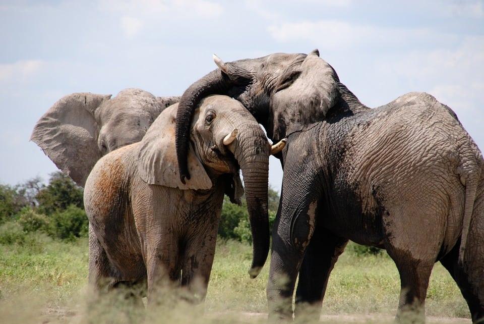 populaţia de elefanţi