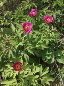 Paeonia officinalis banatica