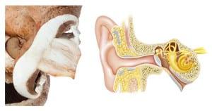 ciuperca-se-aseamna-cu-urechea
