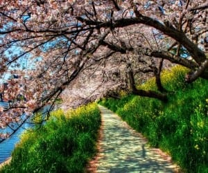 Cherry-Blossom-Tunnel--800x960