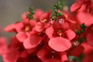 Flori-rosii_950