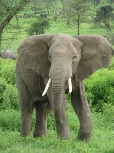 Elephant_near_ndutu-480x639