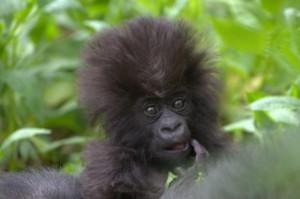 Gorilla8_1