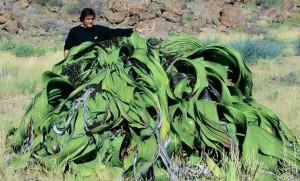 huge_welwitschia_mirabilis