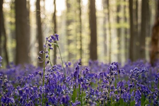 bluebells-blooming-hallerbos-forest-belgium-14
