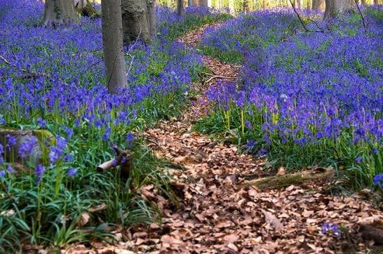 bluebells-blooming-hallerbos-forest-belgium-3