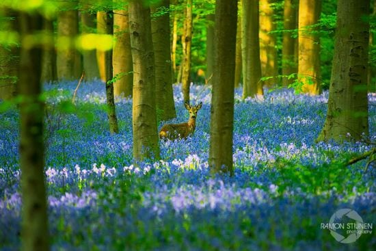 bluebells-blooming-hallerbos-forest-belgium-6