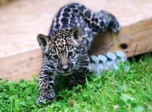 Pui-de-jaguar- Mai
