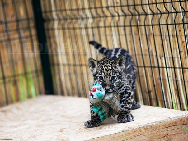 jaguar-foto-silvana-armat2