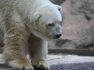 polar-bear-argentina-arturo-afp