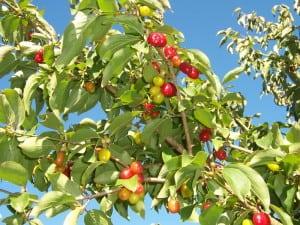 CornusMas_Fruits
