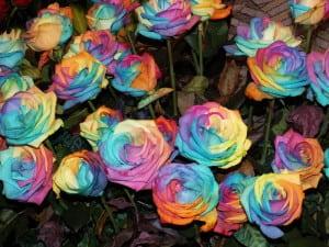 trandafiri multicolori