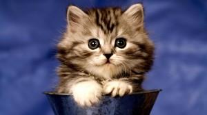 fluffy_kitten