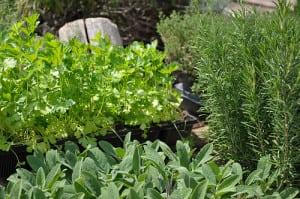 plante antioxidante