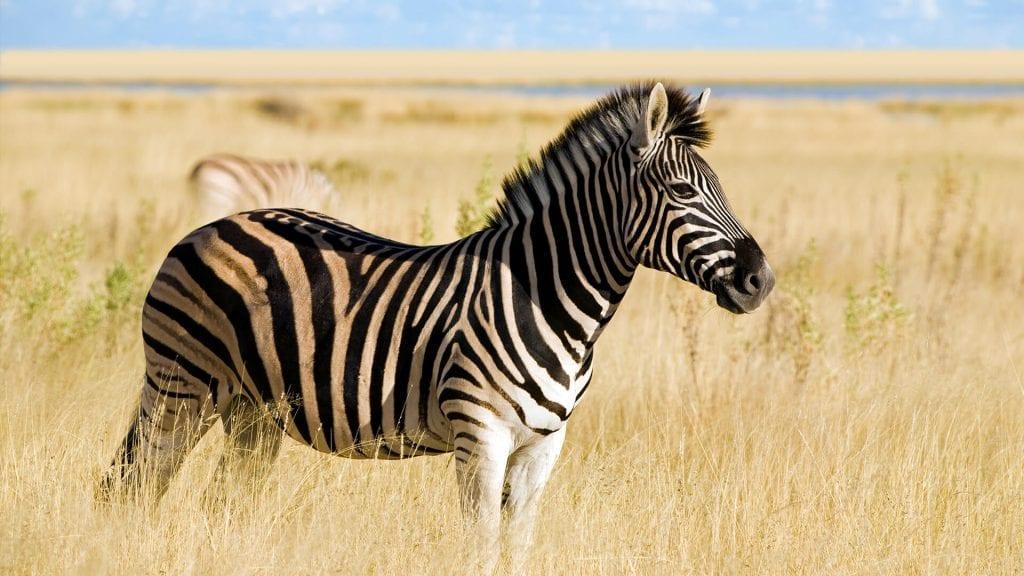 mister zebre