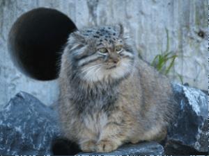 specii de feline