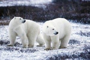 masa osoasă a ursilor