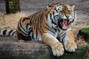 tigrul- unul din animalele cele mai puternice