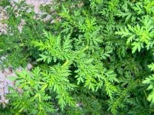 Aceasta-planta-chinezeasca-putin-cunoscuta-ucide-12000-de-celule-canceroase-pentru-fiecare-celula-sanatoasa