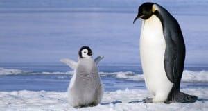 Pinguinii