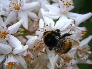 Nicotina și cofeina sunt folositoare pentru albine