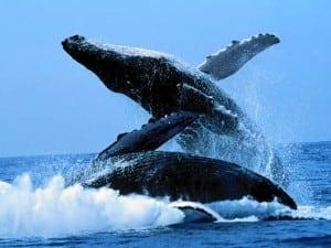 baleine-bosse1