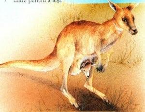 marsupiu