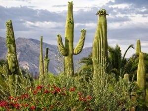 desertul-cactus