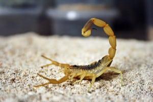veninul de scorpion