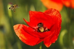 specii de albine sălbatice