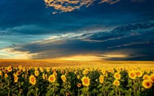 camp_floarea_soarelui