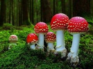 Ciupercile otravitoare