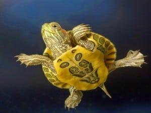 curiozităţi despre ţestoase,