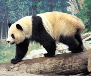 ursi panda China