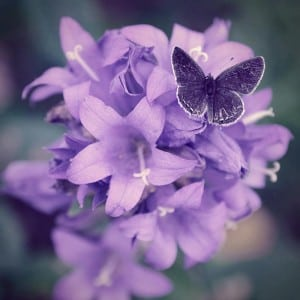 Beautiful-Purple-Butterfly-colors-34605245-800-800