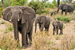 Elefantul_african