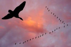 pasari-migratoare