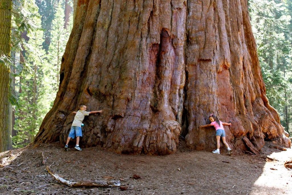 Sequoia- Rador
