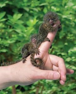 Two Pygmy Marmosets {Cebuella pygmaea} on a man's finger, captive