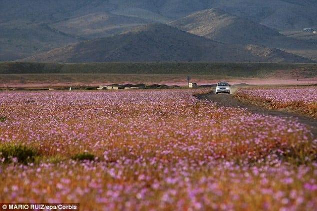 2DE7851700000578-0-Every_five_to_seven_years_the_arid_Atacama_desert_becomes_a_mall-a-20_1446114684771
