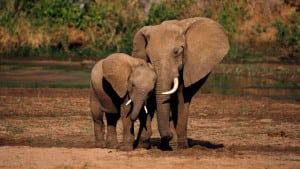 mother-elephant-showing-affection