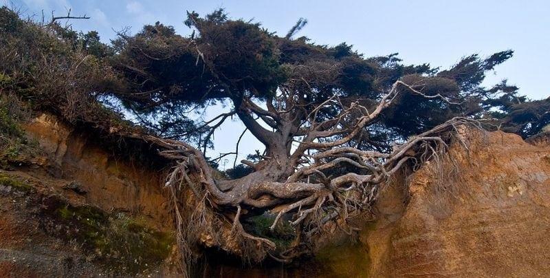 kalaloch-tree-of-life-2255B2255D