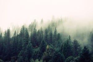 fir-trees-569047