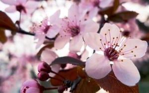 6946725-sakura-flowers